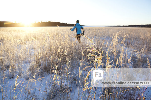'Running across a field with snow and long grasses in winter; Homer  Alaska  United States of America'