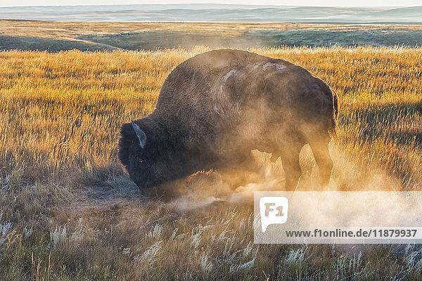 'Bison (bison bison)  Grasslands National Park; Saskatchewan  Canada'