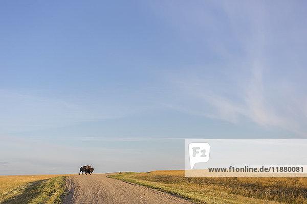 'Bison (bison bison) crossing the dirt road in Grasslands National Park; Saskatchewan  Canada'