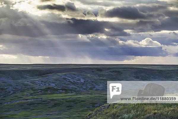 'A lone bison (bison bison) grazes on the buttes of Grasslands National Park; Saskatchewan  Canada'