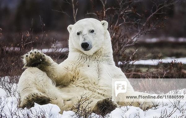 'Polar bear (ursus maritimus) sitting in the snow; Churchill  Manitoba  Canada'