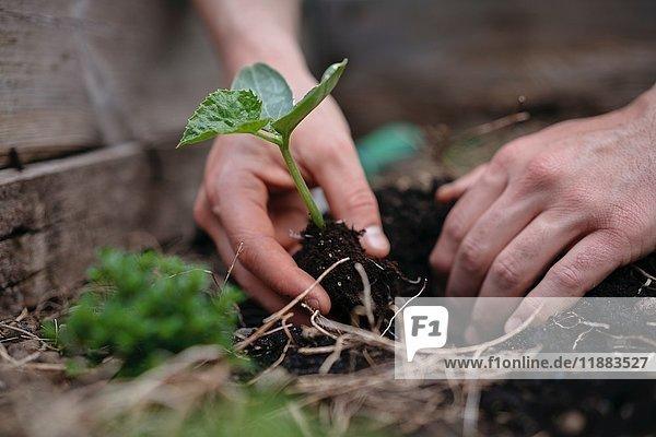 Der Mensch pflanzt Sämlinge in den Boden