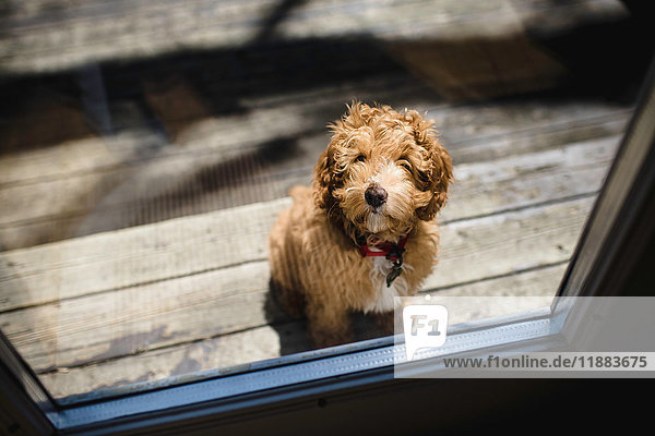 Portrait of red haired puppy outside patio door