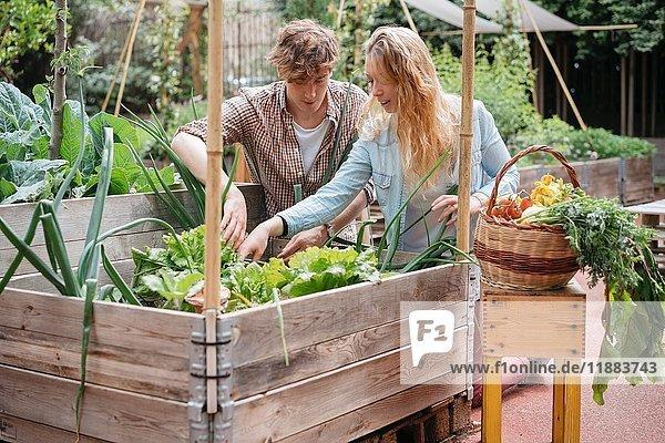 Junger Mann und Frau pflücken Gemüse aus einem hölzernen Trog