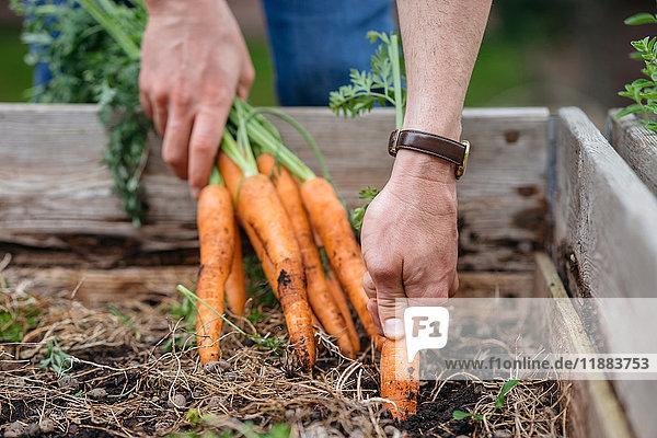 Mann im Gemüsegarten bei der Karottenernte