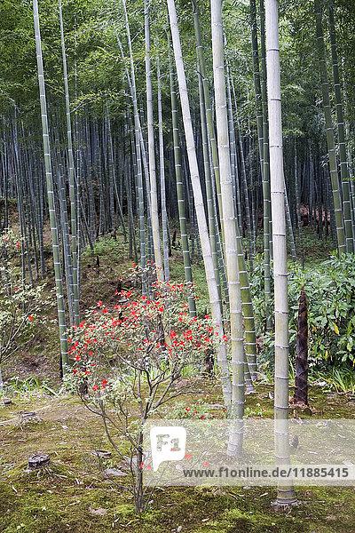 Blumen und Bambuspflanzen im Park  Kyoto  Japan
