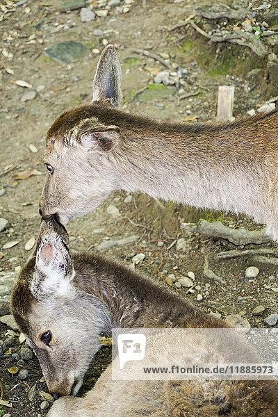 Hochwinkelansicht des Hirschbeißohres  Nara  Japan