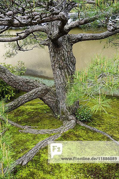 Baum von Pflanzen gegen Wand im Hinterhof  Kyoto  Japan