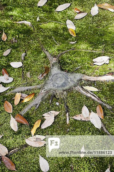 Hochwinkelansicht des Baumstumpfes inmitten gefallener Blätter auf Gras  Kyoto  Japan