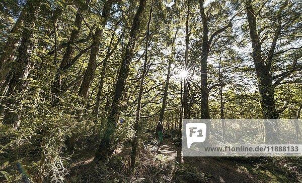 Sonne scheint durch Wald,  Gemäßigter Regenwald,  Kepler Track,  Fiordland National Park,  Southland,  Neuseeland,  Ozeanien