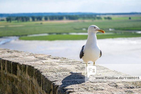 Eine Möwe (Laridae) sitzt auf Mauer der Abtei  Le Mont-Saint-Michel  Normandie  Frankreich  Europa