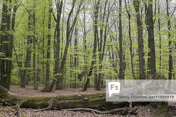 Dead wood in beech forest (Fagus)  spring  primeval forest Sababurg  Hesse  Germany  Europe