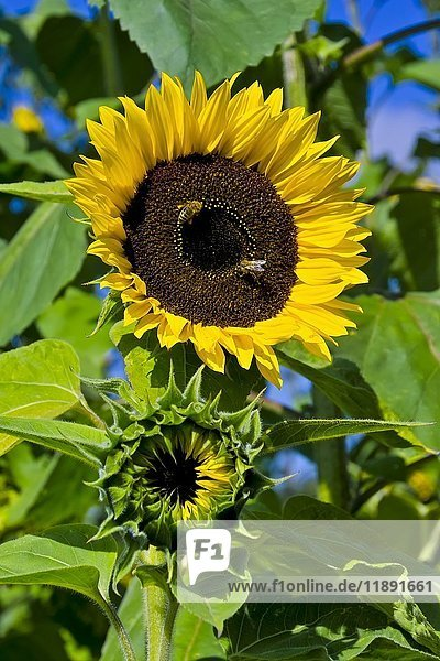 Blühende Sonnenblume (Helianthus annuus)  Bayern  Deutschland  Europa