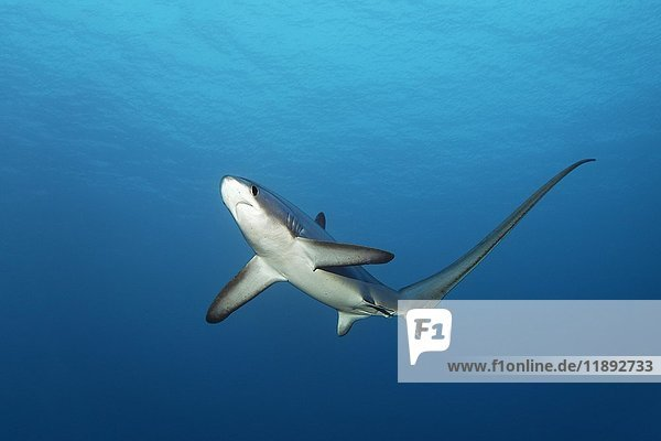 Gemeiner Fuchshai oder Drescher (Alopias vulpinus)  schwimmt im offenen Meer  gefährdet  Brother Islands  El Akhawein  Rotes Meer  Ägypten  Afrika