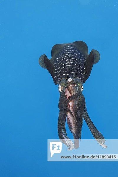 Großflossen-Kalmar (Sepioteuthis lessoniana) mit erbeutetem Papageifisch (Scarinae) zwischen den Armen  frisst Beute  Palawan  Mimaropa  Sulu See  Pazifik  Philippinen  Asien