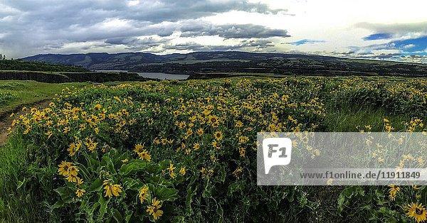 Columbia River Gorge  Oregon  USA  Balsamroot and Lupine wildflowers.