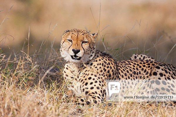 Cheetah (Acinonyx jubatus). Okavango Delta  Botswana  Africa.