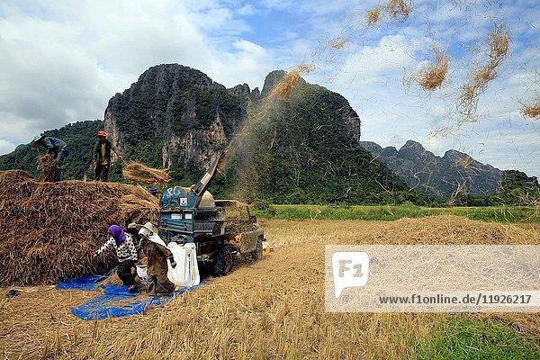 Lao farmers harvesting rice in rural lanscape.