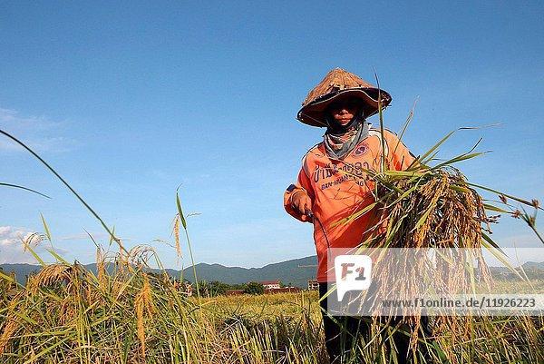 Lao farmer harvesting rice.