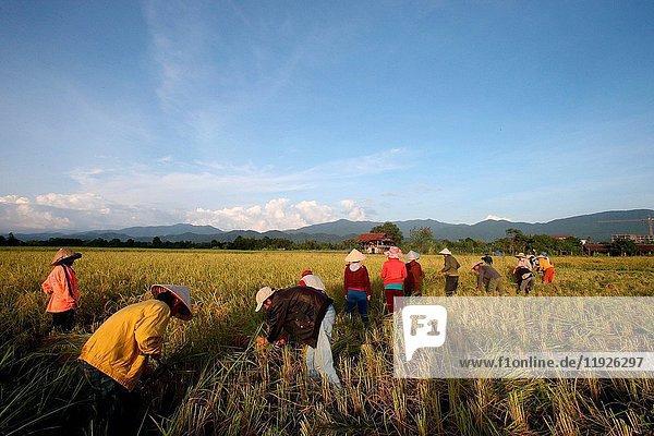 Farmers working in rice fields in rural landscape.