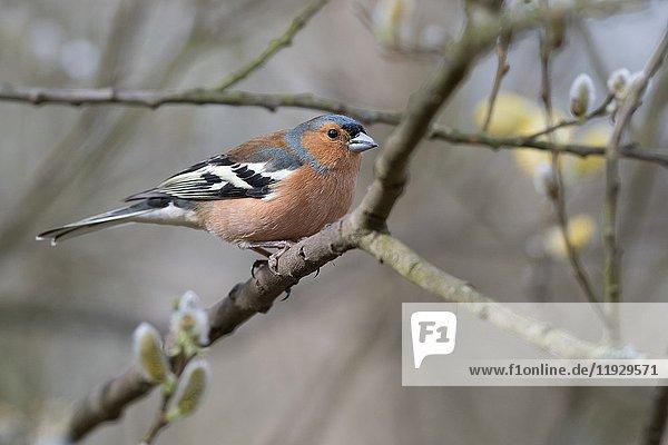 Male Chaffinch  Fringilla coelebs. Spring. Uk.