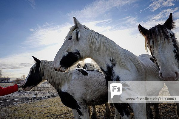 Wide angle close up photograph of Tinker horses on a frosty pasture under a cloudy sky in Anundsjoe  Sweden.