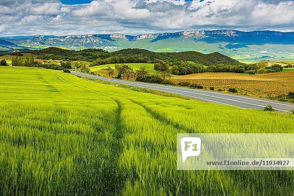 Barley crop. Ayegui  Estella comarca  Navarra  Spain  Europe.