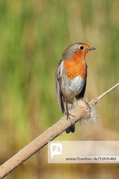 European Robin (Erithacus rubecula). Malaga  Andalusia  Spain.