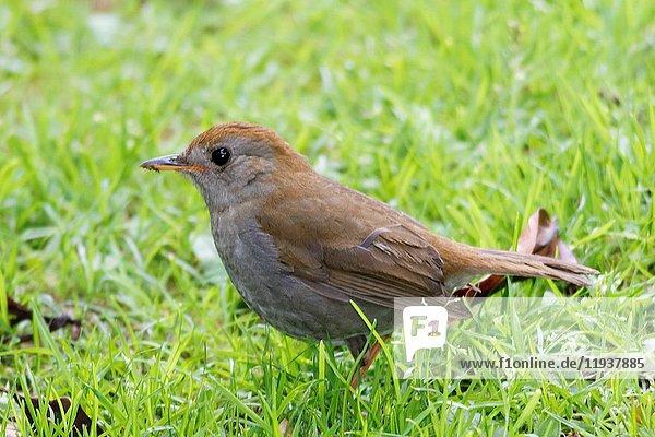 Ruddy-Capped Nightingale-Thrush (Catharus frantzii) Costa Rica.