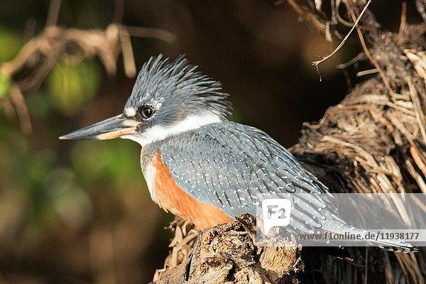 Ringed Kingfisher male (Megaceryle torquata) Pantanal  Brazil.