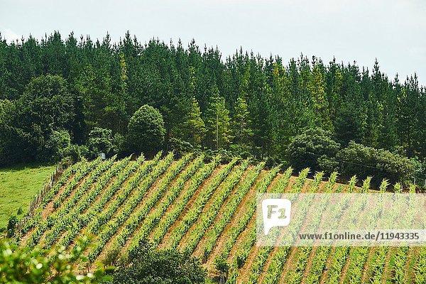 Txacoli Vineyard  Sopuerta  Biscay  Basque Country  Euskadi  Spain  Europe