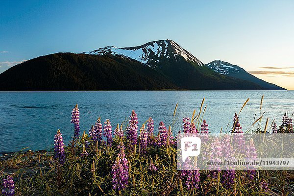 Field of lupine in bloom along Turnagain Arm at sunset.