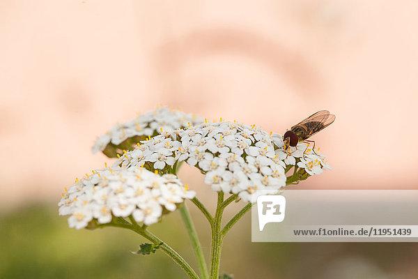 Fliege auf einer Schafgarbe