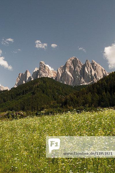 Wildblumenwiese und Skyline von Odle Mountain  Tal von Funes  Dolomiten  Italien