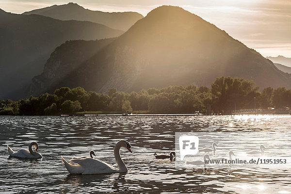 Familie von Schwänen  die bei Sonnenuntergang am Lago Maggiore schwimmen  Piemont  Italien