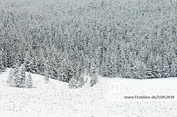 Wald nach Schneefall  Yellowstone-Nationalpark  Wyoming  USA