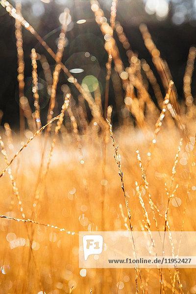 Flacher Fokus von langen goldenen Gräsern