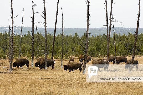 Bisonherde  Yellowstone-Nationalpark  Wyoming  USA