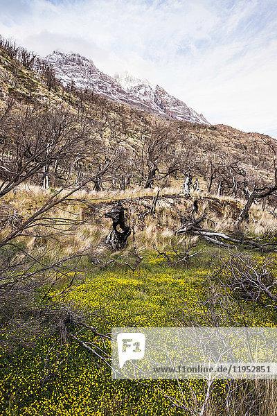 Am Berghang wachsende gelbe Wildblumen  Nationalpark Torres del Paine  Chile