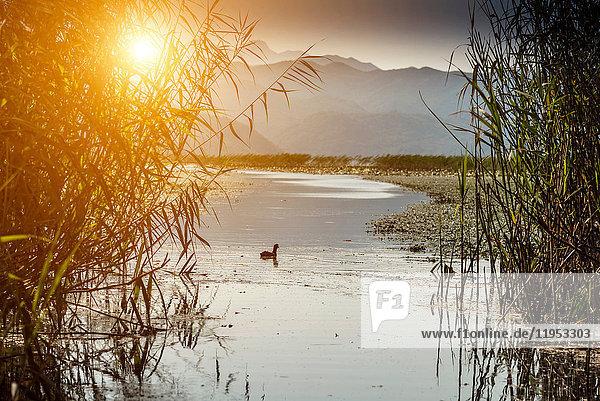Einsamer Vogel am Skutarisee  Rijeka Crnojevica  Montenegro