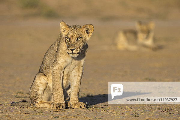 Young lions (Panthera leo)  Kgalagadi Transfrontier Park  Northern Cape  South Africa  Africa