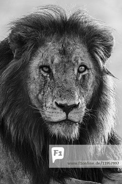 Lion (Panthera leo),  Kruger National Park,  South Africa,  Africa