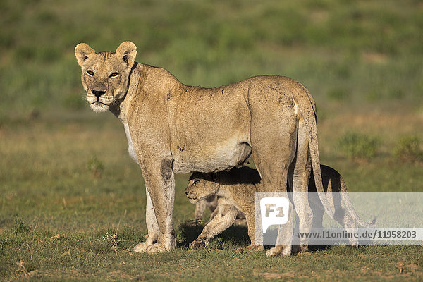 Lioness (Panthera leo) with cub  Kgalagadi Transfrontier Park  Northern Cape  South Africa  Africa