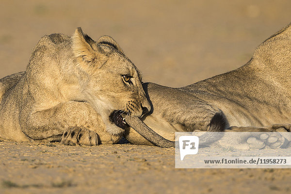 Young lions (Panthera leo) playing  Kgalagadi Transfrontier Park  Northern Cape  South Africa  Africa