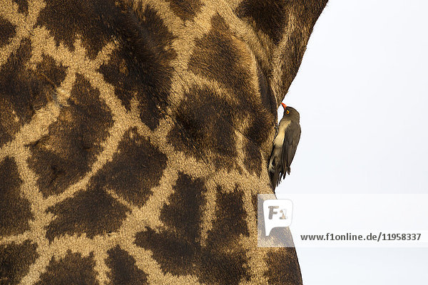 Giraffe (Giraffa camelopardalis) with redbilled oxpecker  Kruger National Park  South Africa  Africa