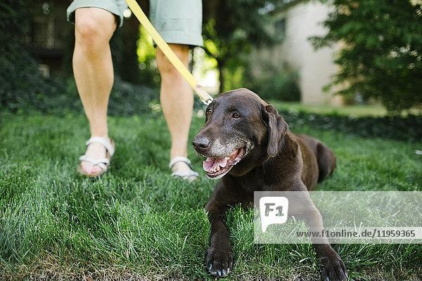 Woman with Labrador Retriever on leash