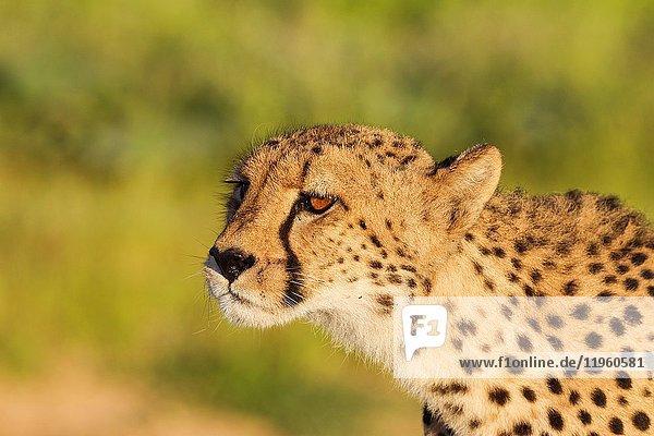 Cheetah (Acinonyx jubatus). Female has spotted a possible prey animal. Kalahari Desert  Kgalagadi Transfrontier Park  South Africa.