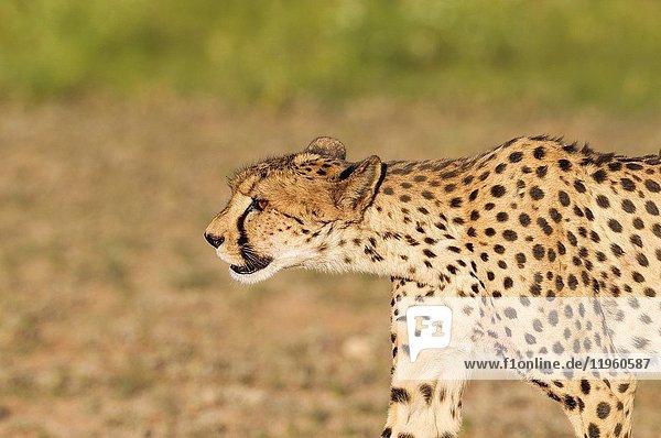 Cheetah (Acinonyx jubatus). Subadult female with blood at snout and body. Has been feeding on a springbok (Antidorcas marsipualis). Kalahari Desert  Kgalagadi Transfrontier Park  South Africa.