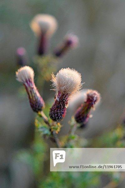 Creeping thistle (Cirsium arvense)  Eure-et-Loir department  Centre-Val de Loire region  France  Europe.