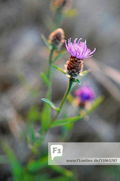 Common knapweed  Centaurea nigra  Eure-et-Loir department  Centre-Val de Loire region  France  Europe.